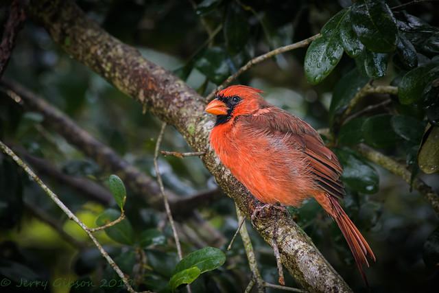 Backyard wet male Cardinal 09-06-2016