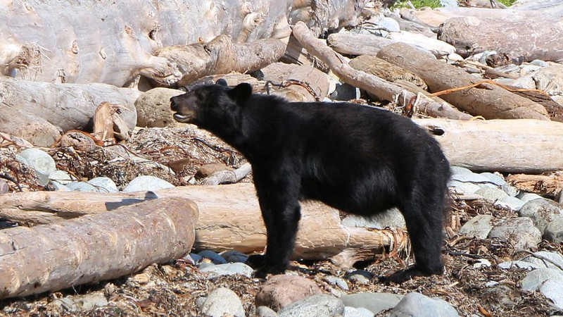 We met two yearling bears on the beach south of Michigan Creek, and we had to walk out on the rocks to get by
