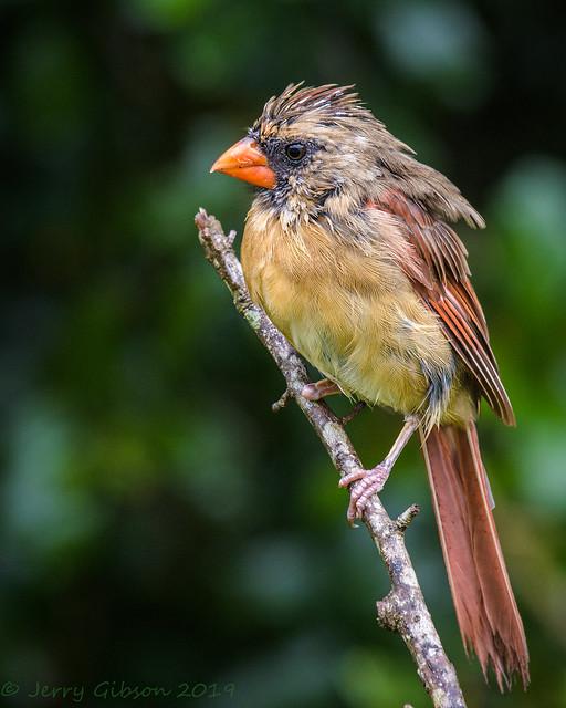 Backyard wet female Cardinal 09-06-2016