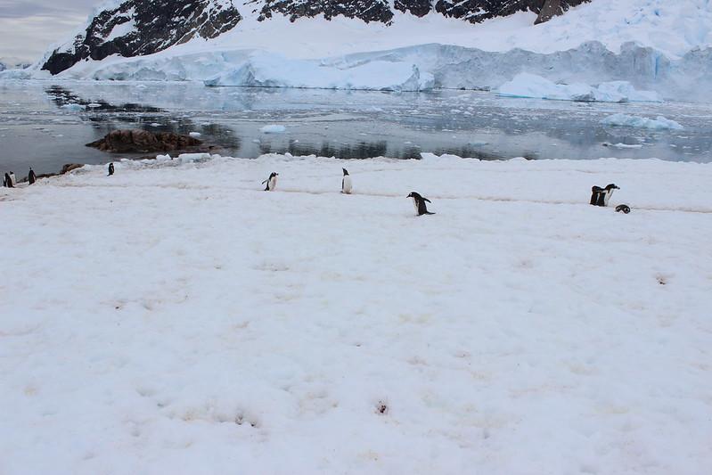 Rush hour on the penguin highway, Neko Harbour