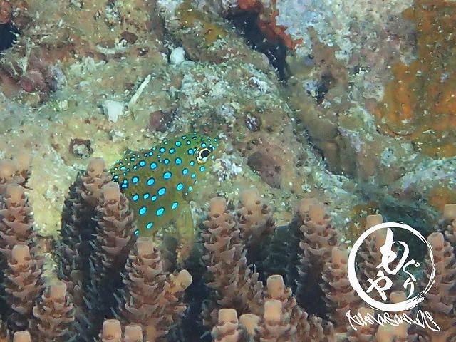 可愛いサイズやったルリホシスズメダイ幼魚