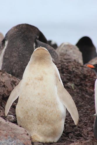 Leucistic Penguin | Gonzalez Videla Station