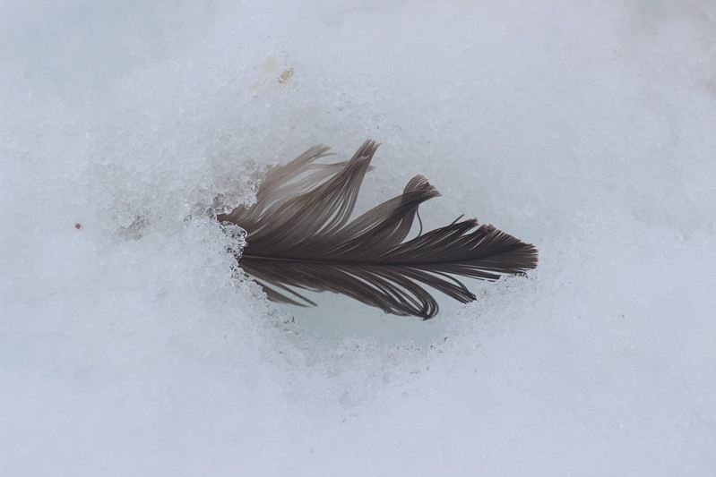 Shed feather, not a buried penguin! Neko Harbour