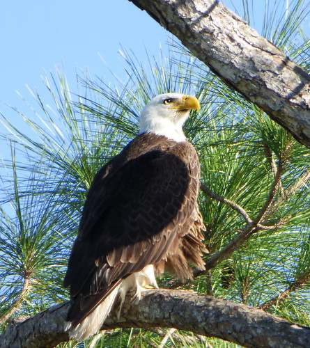 baldeagle eagle bird animal nature tree branch pine