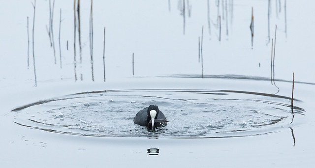 Coot emerging from a dive