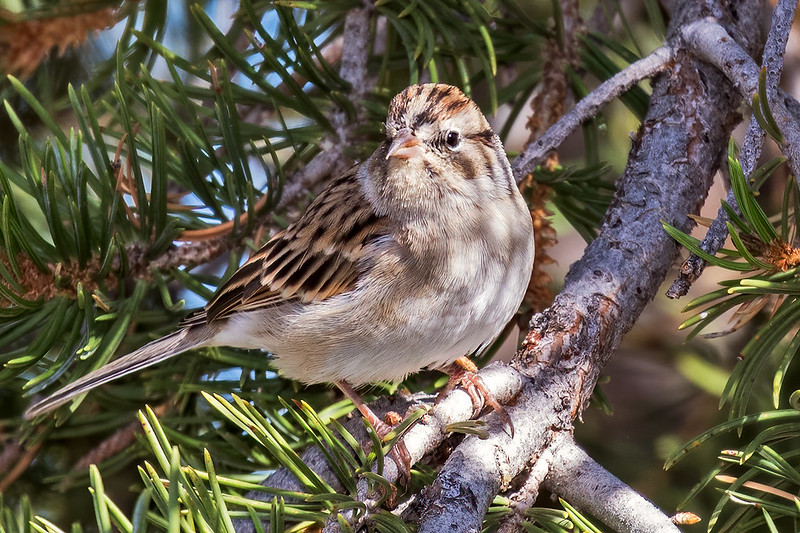Chipping-Sparrow-68-7D2-100219
