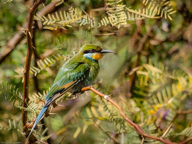 Swallow-tailed bee-eater/Merops hirundineus