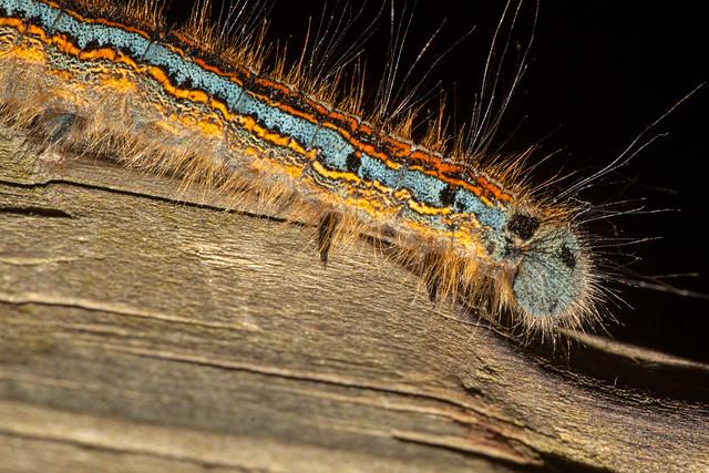 Caterpillar Of Malacosoma neustria
