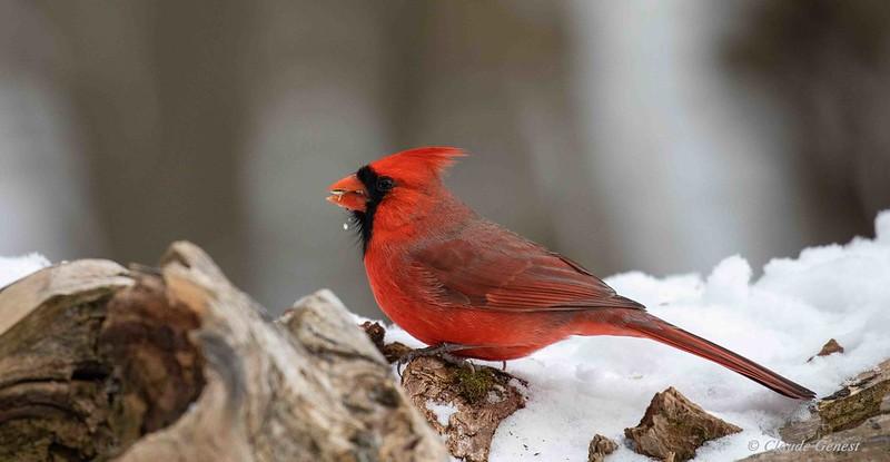 Cardinal Rouge 49279027347_a02444d4e5_c