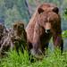 Grizzly in Khutzeymateen
