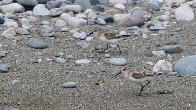 Tiny, fast seabirds running along the shore on the West Coast Trail - it was difficult to get a photo of them