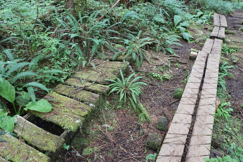 An older, rotted, moss-covered wooden walkway was discarded off to the side of the new walkway on the WCT