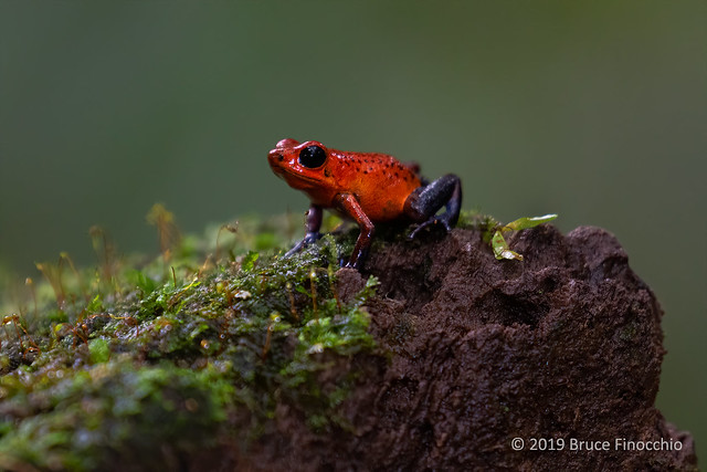 Strawberry Poison-Dart-Frog On A Wet And Moist Piece Of Decaying Wood