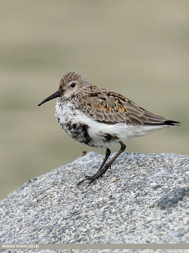 Dunlin (Calidris alpina) | by gilgit2
