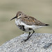 Dunlin - Photo (c) Imran Shah, some rights reserved (CC BY-SA)