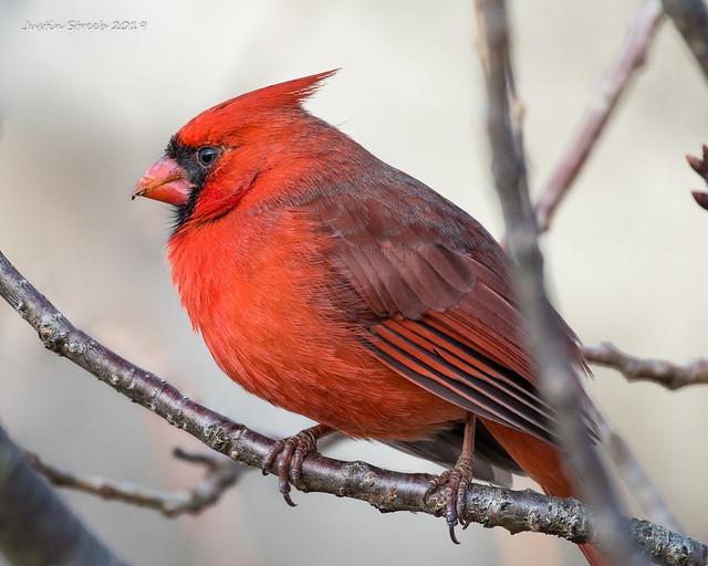 Male Cardinal Profile