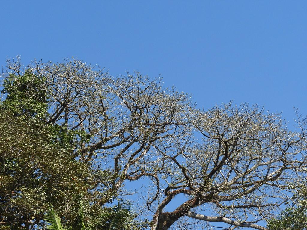 Ceiba pentandra (L.) Gaertn. * Ceiba *
