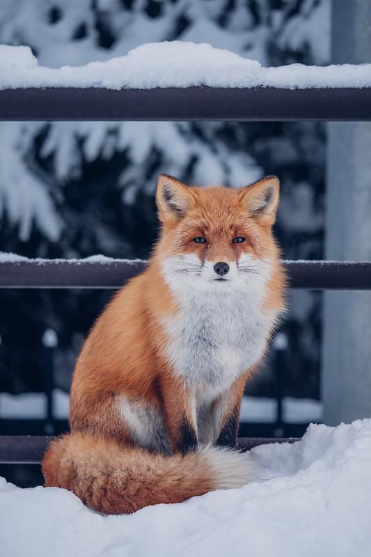 北海道赤狐|北狐 美瑛