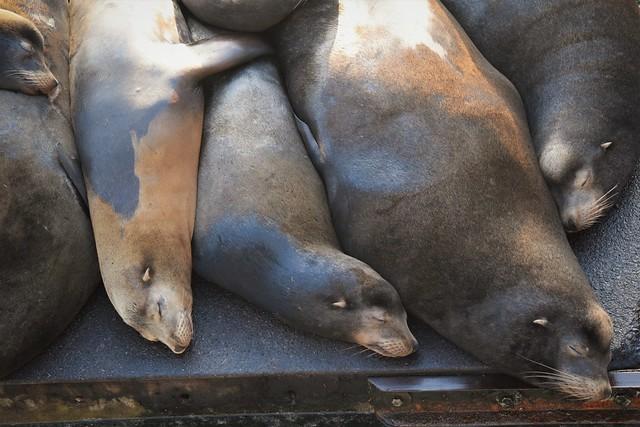 Sea lion slumber