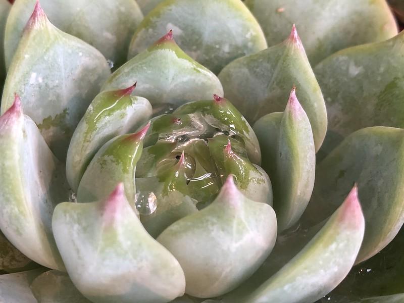 Succulent Closeup