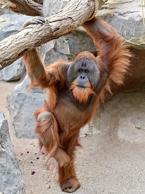 Sumatra Orang-Utan Tuan; Fitnesstraining am Morgen... und hoch das Bein...