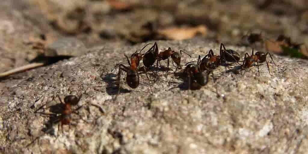 des-fourmis-se-nourrissent-avec-urine-sur-une-île-australienne