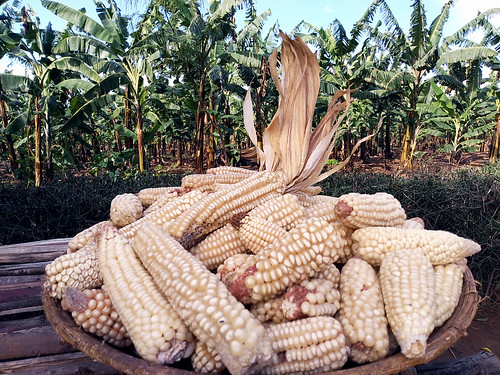 Grow plentiful and nutritious maize!