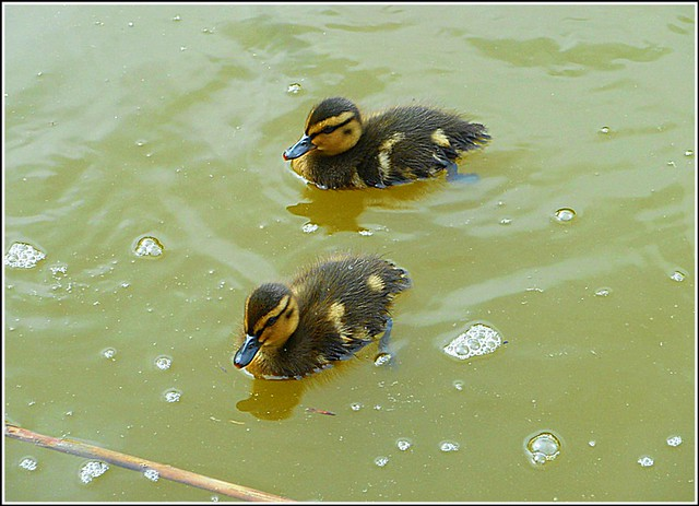 Two Mallard Ducklings ..