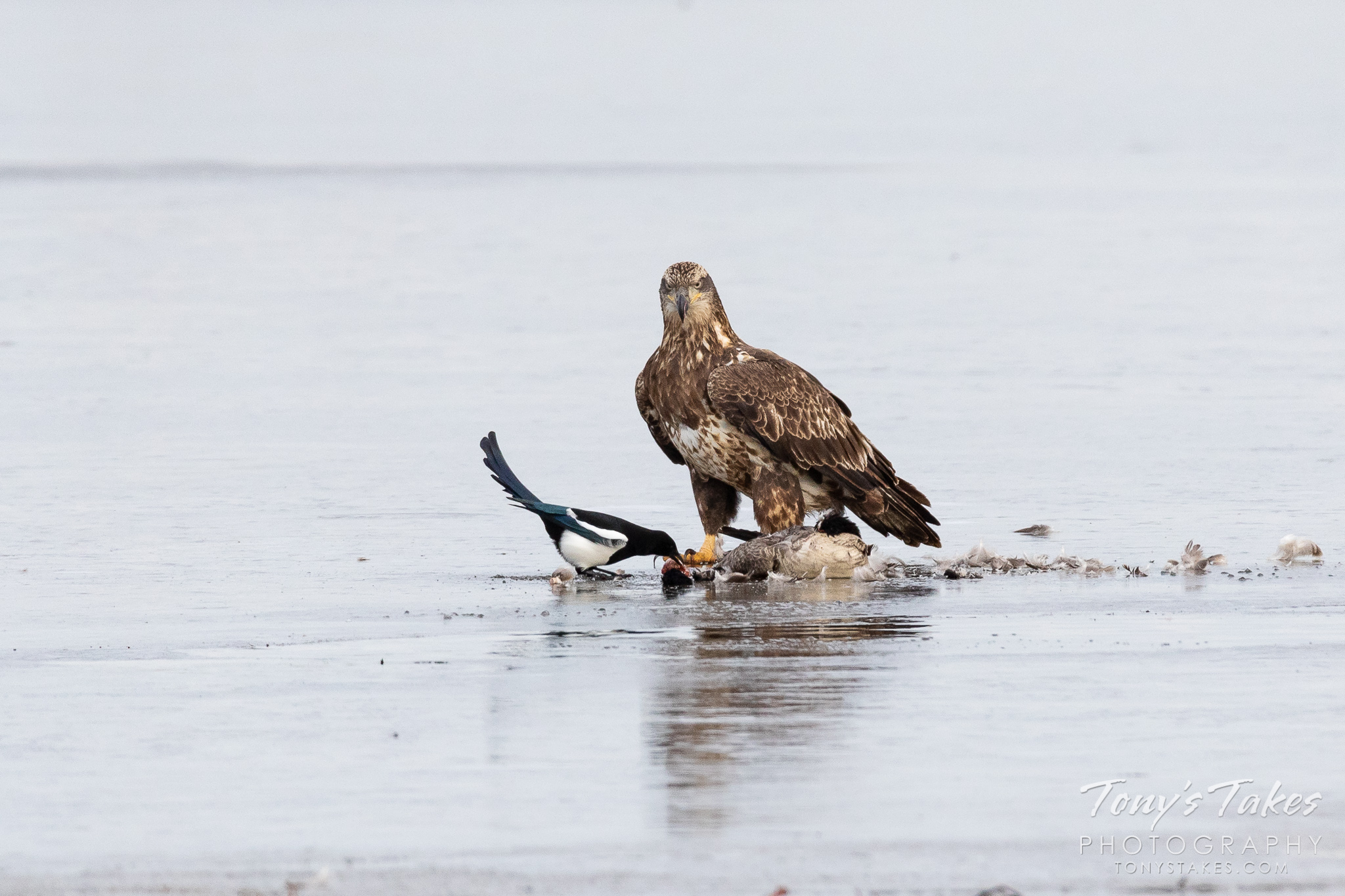 A magpie snatches a taste of a bald eagle's meal at Barr Lake State Park. (© Tony's Takes)
