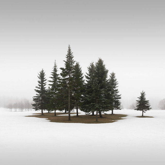 Winter Conifers III