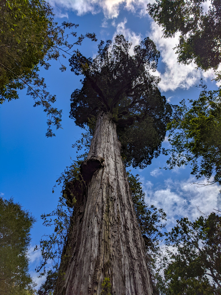 Alerce Milenario (Fitzroya cypress)