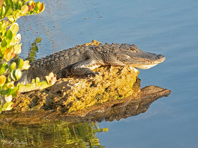 🇺🇸 Alligator & reflection EG 9145