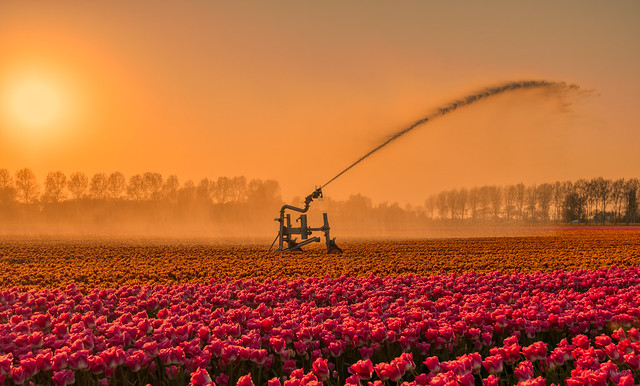 Watering the thirsty tulips.