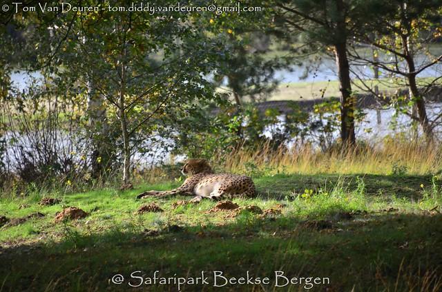 Jachtluipaard - Acinonyx jubatus - Cheetah