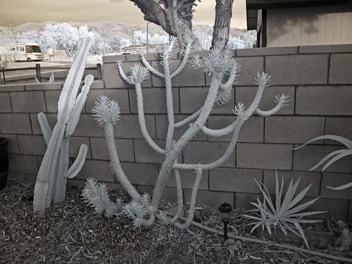 Desert Plants (0366)
