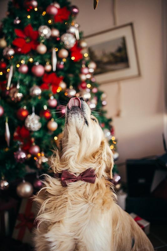 Familienhund vor dem Weihnachtsbaum wartet auf ein Leckerli