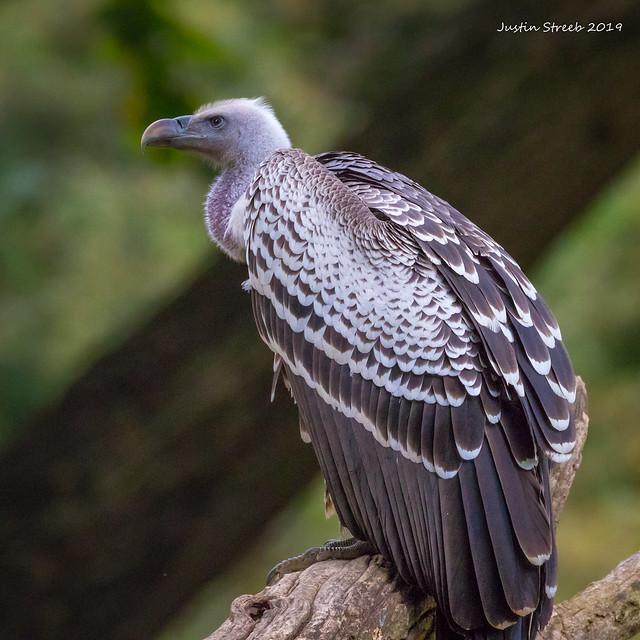 Zoo Vulture fb