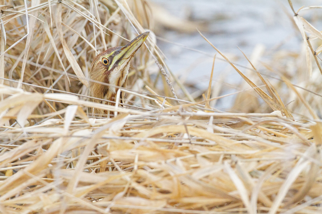 An American bittern peeks over the marsh grasses at Horse Lake on the auto tour of Ridgefield National Wildlife Refuge in Ridgefield, Washington in January 2010