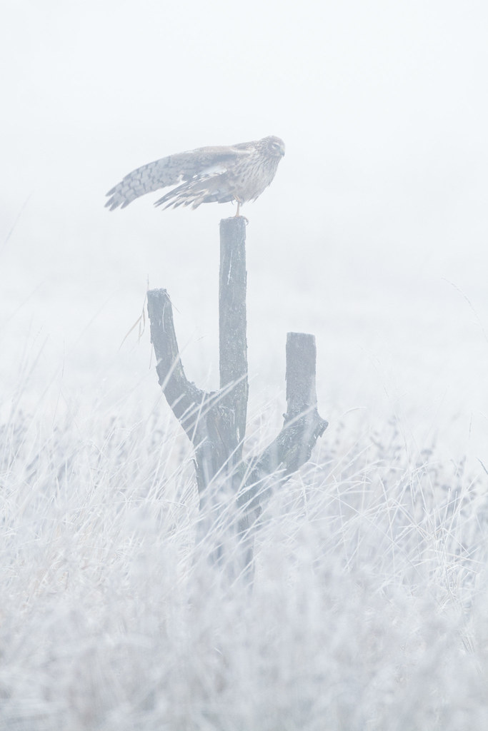 A northern harrier stretches its wings backward while perched on a stump I called 'The Cactus Tree' at Ridgefield National Wildlife Refuge in Ridgefield, Washington in December 2009