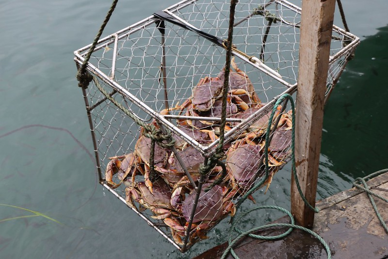 Live Dungeness Crabs in a cage, ready for cooking and eating, at the Nitinat Narrows Crab Shack