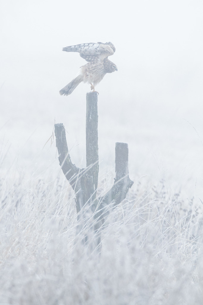 A northern harrier stretches its wings as it prepares to take flight while perching on a stump I call 'The Cactus Tree' at Ridgefield National Wildlife Refuge in Ridgefield, Washington in December 2009