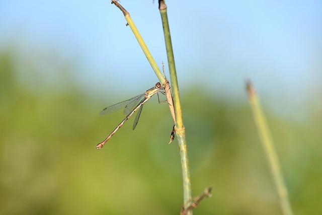 Chalcolestes viridis ♀