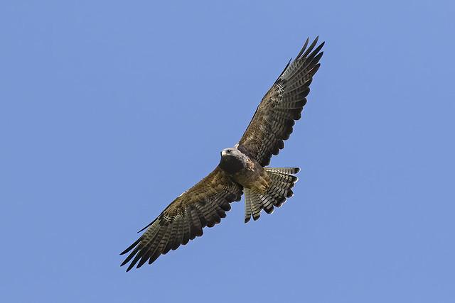 _31A5984 Adult rufous morph Swainson's Hawk