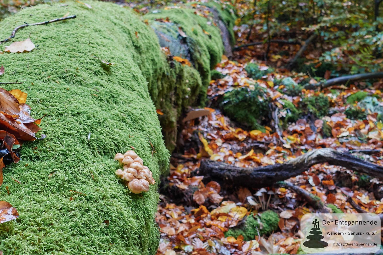 Moos und Pilze überall auf dem Saar-Hunsrück-Steig Etappe 10
