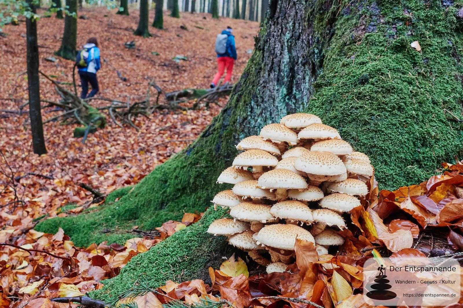 Pilze im Wald auf dem Saar-Hunsrück-Steig Etappe 10 von Börfink bis Hoxel
