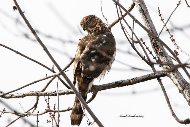 Hawk in the yard