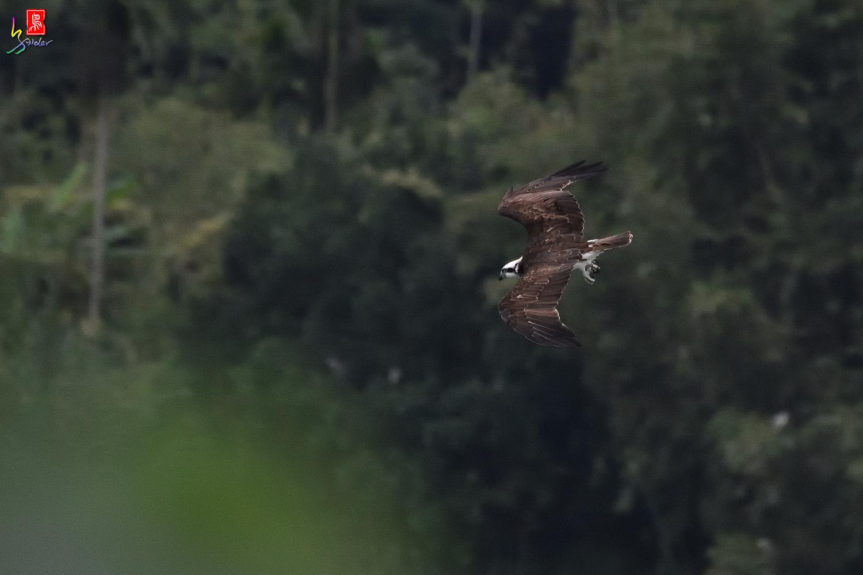 Osprey_8569