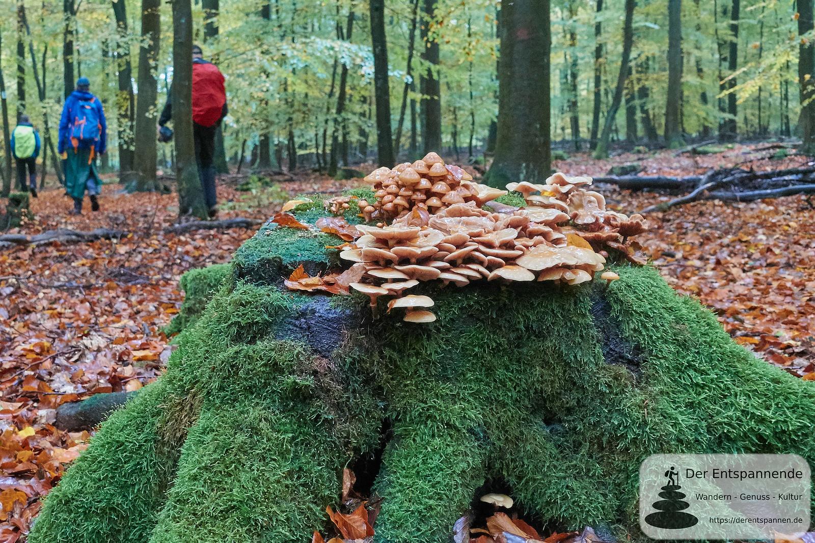Pilze im Wald, Saar-Hunsrück-Steig, Etappe 12