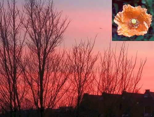 orange meconopsiscambrica welshpoppy flower hortusbotanicusamsterdamthenetherlands oudeschansamsterdamthenetherlands sunrise sky roofs winter