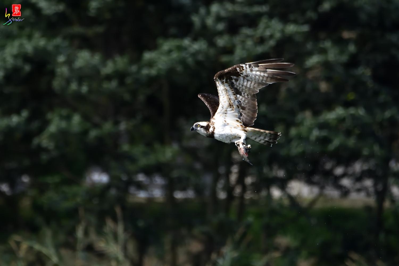 Osprey_9122